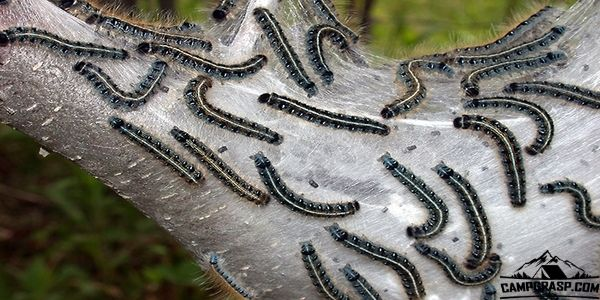 How to Get Rid of Tent Caterpillars